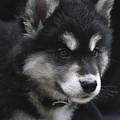 Gorgeous Eight Week Old Alusky Puppy Dog by DejaVu Designs