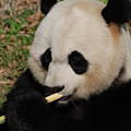 Gorgeous Face Of A Giant Panda Bear With Bamboo by DejaVu Designs