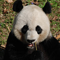 Gorgeous Face Of A Panda Bear Eating Bamboo by DejaVu Designs