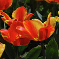 Gorgeous Flowering Orange And Red Blooming Tulips by DejaVu Designs