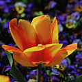 Gorgeous Flowering Yellow And Red Blooming Tulip by DejaVu Designs
