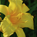 Gorgeous Flowering Yellow Daylily Blooming In A Garden by DejaVu Designs