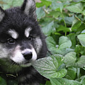 Gorgeous Fluffy Alusky Puppy Peaking Out Of Plants by DejaVu Designs