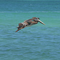 Gorgeous Grey Pelican With His Wings Extended In Flight  by DejaVu Designs