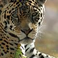 Gorgeous Jaguar by Sabrina L Ryan