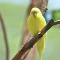 Gorgeous Little Yellow Parakeet Living In The Wild by DejaVu Designs