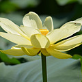 Gorgeous Lotus Flower by Ruth  Housley