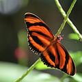 Gorgeous Orange And Black Oak Tiger Butterfly by DejaVu Designs
