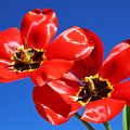 Gorgeous Red Tulips. by Elisabeth Witte
