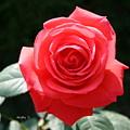 Gorgeous Rose by Nisha Verma