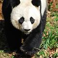 Gorgeous Sweet Giant Panda Bear Ambling Along by DejaVu Designs