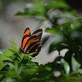 Gorgeous View Of An Oak Tiger Butterfly In The Spring by DejaVu Designs