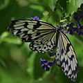 Gorgeous White Tree Nymph Butterfly With It's Wings Spread by DejaVu Designs