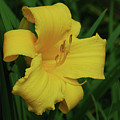 Gorgeous Yellow Daylily In A Garden Blooming by DejaVu Designs