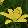 Gorgeous Yellow Lily Growing In Nature Up Close by DejaVu Designs
