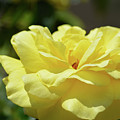 Gorgeous Yellow Rose by Ruth Housley