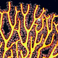 Gorgonian Coral Fan by Dave Fleetham - Printscapes
