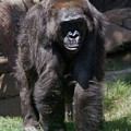 Gorilla 1 by Phyllis Spoor