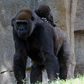 Gorilla Baby Carry 1 by Phyllis Spoor