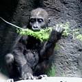 Gorilla Baby Mary Joe Eating by Phyllis Spoor