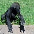 Gorilla Baby Mary Joe by Phyllis Spoor