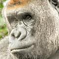 Gorilla - Como Zoo, St. Paul, Minnesota by Curtis Tilleraas