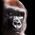 Gorilla ... Kouillou by Stephie Butler