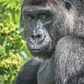 Gorilla by Lynn Sprowl