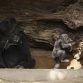 Gorilla Mother Baby 1 by Phyllis Spoor