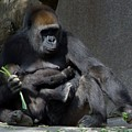 Gorilla Mother Baby Contentment by Phyllis Spoor