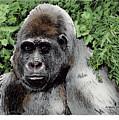 Gorilla My Dreams by Joseph Juvenal