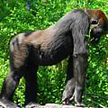 Gorilla Posing by David Lee Thompson