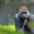 Gorilla Stare by Eric Pearson