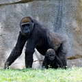 Gorilla With Baby by Phyllis Spoor