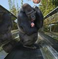 Gorilla With Lollipop by Guy Crittenden