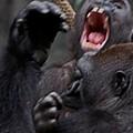 Gorillas Fighting by Michele Stoehr