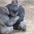 Gorillas by FL collection