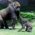 Gorillas Mary Joe Baby And Emonty Mother 5 by Phyllis Spoor