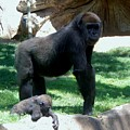 Gorillas Mary Joe Baby And Emonty Mother 6 by Phyllis Spoor