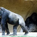 Gorillas With Baby by Phyllis Spoor