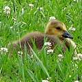 Gosling 2 by J M Farris Photography