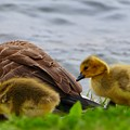 Gosling Gaggle 1 by Debbie Storie