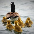 Gosling Gaggle 3 by Debbie Storie
