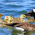 Gosling Gaggle 4 by Debbie Storie