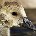 Gosling - Growing Up by Sue Harper