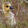 Gosling In The Meadow by Sue Harper