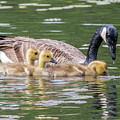 Goslings by Bill Wakeley