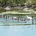Goslings In A Row by Carol Groenen