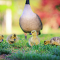 Goslings In The Park by Chris Greig