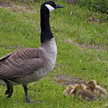 Goslings With Mother Goose by Eye to Eye Xperience